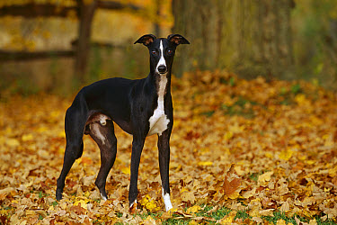 Whippet (Canis familiaris) standing in fallen leaves fall  -  Mark Raycroft