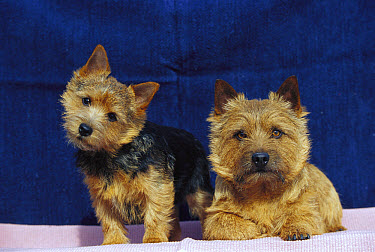 Norwich Terrier (Canis familiaris) parent and puppy  -  Mark Raycroft