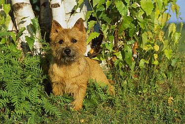Norwich Terrier (Canis familiaris) portrait  -  Mark Raycroft