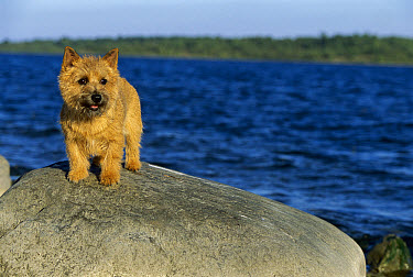 Norwich Terrier (Canis familiaris) on rock at beach  -  Mark Raycroft