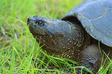 Snapping Turtle (Chelydra serpentina) portrait, Ontario, Canada  -  Mark Raycroft