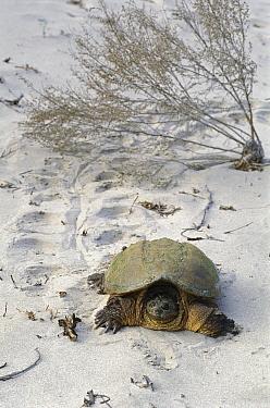 Snapping Turtle (Chelydra serpentina) crawling through the sand  -  Mark Raycroft
