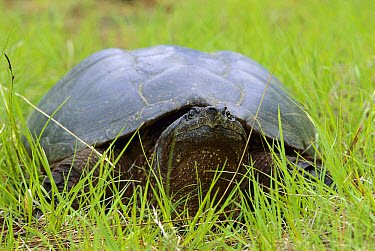 Snapping Turtle (Chelydra serpentina) portrait laying in the grass  -  Mark Raycroft