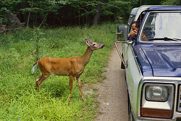 White-tailed Deer (Odocoileus virginianus) doe being fed by man in truck  -  Mark Raycroft