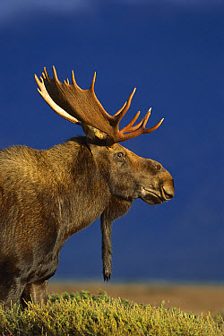Moose (Alces alces shirasi) portrait of a large bull showing antlers and hanging wattle  -  Mark Raycroft