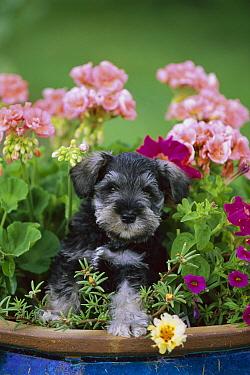 Miniature Schnauzer (Canis familiaris) puppy in flower pot  -  Mark Raycroft