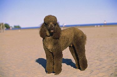 Standard Poodle (Canis familiaris) portrait on beach  -  Mark Raycroft