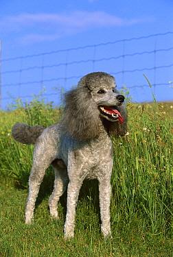 Standard Poodle (Canis familiaris) portrait of grey adult  -  Mark Raycroft