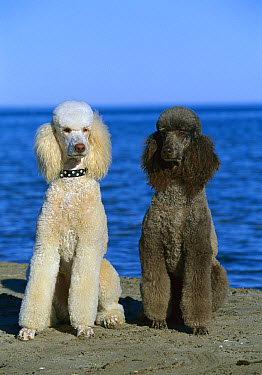 Standard Poodle (Canis familiaris) portrait of white and black adults on beach  -  Mark Raycroft