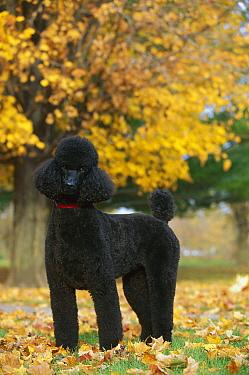 Standard Poodle (Canis familiaris) black adult in autumn leaves  -  Mark Raycroft