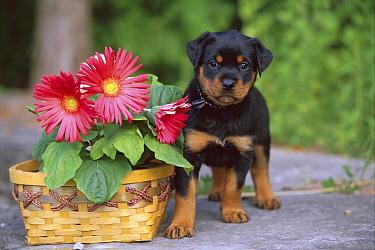 Rottweiler (Canis familiaris) puppy standing beside basket of gerber daisies  -  Mark Raycroft