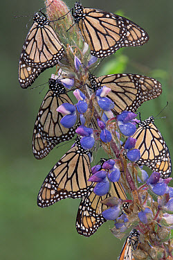 Monarch (Danaus plexippus) butterflies on lupine, Michoacan, Mexico  -  Tim Fitzharris