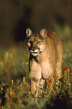 Mountain Lion (Puma concolor) walking through a field of red Paintbrush (Castilleja sp) flowers, North America  -  Tim Fitzharris