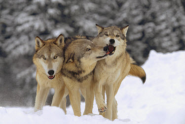 Timber Wolf (Canis lupus) trio playing in snow, Montana  -  Tim Fitzharris