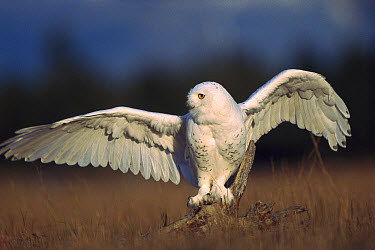 Snowy Owl (Nyctea scandiaca) adult balancing on a stump amid dry grass, British Columbia, Canada  -  Tim Fitzharris