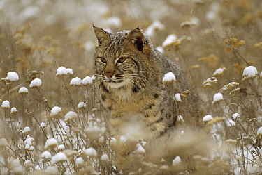 Bobcat (Lynx rufus) camouflaged in snowy meadow, Montana