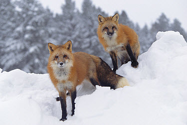 Red Fox (Vulpes vulpes) pair in snow fall showing the black and red markings of their cross phase, Montana  -  Tim Fitzharris
