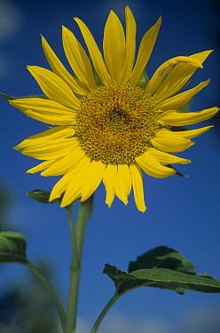 Common Sunflower (Helianthus annuus) flower, New Mexico  -  Tim Fitzharris