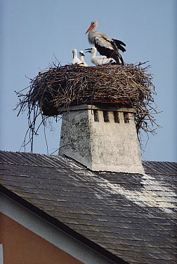 White Stork (Ciconia ciconia) and chicks nesting on a rooftop, Illmitz, Austria  -  Tim Fitzharris