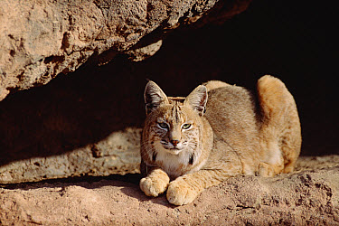 Bobcat (Lynx rufus) adult resting on rock ledge, North America  -  Tim Fitzharris