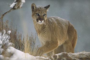 Mountain Lion (Puma concolor) in snowfall, North America