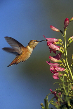Rufous Hummingbird (Selasphorus rufus) feeding on flowers, New Mexico
