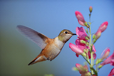 Rufous Hummingbird (Selasphorus rufus) juvenile feeding on flowers, New Mexico  -  Tim Fitzharris