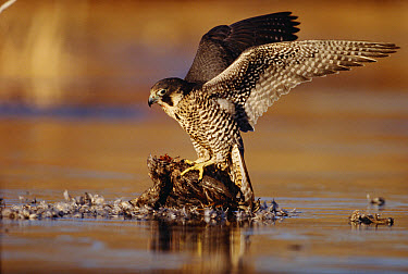 Peregrine Falcon (Falco peregrinus) adult in protective stance standing on downed duck, North America  -  Tim Fitzharris
