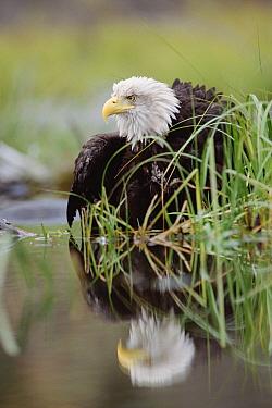 Bald Eagle (Haliaeetus leucocephalus) with reflection at the edge of a lake, North America  -  Tim Fitzharris