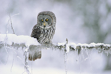 Great Gray Owl (Strix nebulosa) perching on a snow-covered branch, British Columbia, Canada  -  Tim Fitzharris