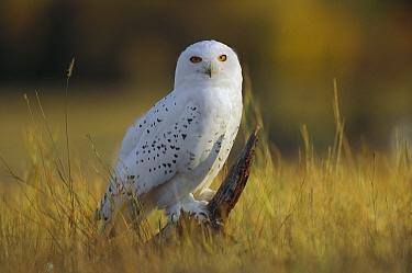 Snowy Owl (Nyctea scandiaca) amid dry grass, British Columbia, Canada