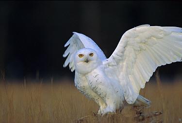 Snowy Owl (Nyctea scandiaca) adult, circumpolar species, British Columbia, Canada  -  Tim Fitzharris