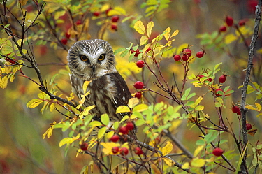 Northern Saw-whet Owl (Aegolius acadicus) perching in a wild rose bush, British Columbia, Canada