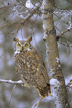 Great Horned Owl (Bubo virginianus), pale form, perching in a snow-covered tree, British Columbia, Canada