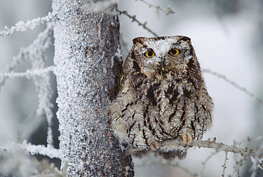 Western Screech Owl (Megascops kennicottii) perching in a tree with snow on its head, British Columbia, Canada  -  Tim Fitzharris