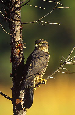 Merlin (Falco columbarius) perching in a tree, North America  -  Tim Fitzharris