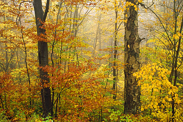 Yellow Birch (Betula alleghaniensis) American Beech (Fagus grandifolia) and Striped Maple (Acer pensylvanicum) mixed deciduous forest in autumn, Mill Brook, Vermont  -  Tim Fitzharris