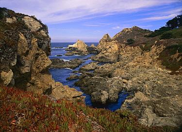 Iceplant (Mesembryanthemum sp) growing on cliffs at Rocky Point, Big Sur, California  -  Tim Fitzharris