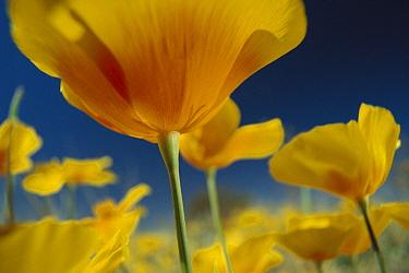 Mexican Golden Poppy (Eschscholzia glyptosperma), New Mexico