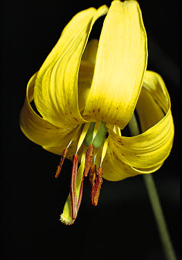 Trout Lily (Erythronium americanum) blossom showing anthers, Ontario, Canada  -  Tim Fitzharris