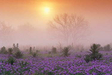 Sand Verbena (Abronia sp) foggy sunrise, Hill Country, Texas  -  Tim Fitzharris