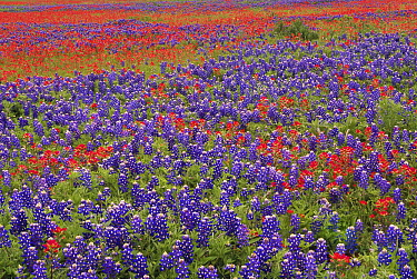 Sand Bluebonnet (Lupinus subcarnosus) and Paintbrush (Castilleja sp) flowers, Hill Country, Texas