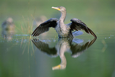 Double-crested Cormorant (Phalacrocorax auritus) stretching its wings, North America  -  Tim Fitzharris