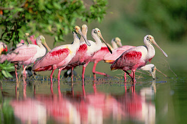 Roseate Spoonbill (Platalea ajaja) flock wading in pond, Texas coast near Galveston  -  Tim Fitzharris