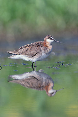 Wilson's Phalarope (Phalaropus tricolor) adult with reflection, North America  -  Tim Fitzharris