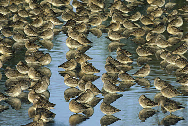 Long-billed Dowitcher (Limnodromus scolopaceus) flock sleeping in shallow water, North America  -  Tim Fitzharris