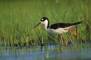 Black-necked Stilt (Himantopus mexicanus) wading through reeds, North America  -  Tim Fitzharris
