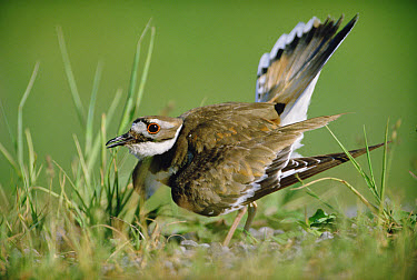 Killdeer (Charadrius vociferus) parent displaying while trying to distract predator from nest, North America  -  Tim Fitzharris