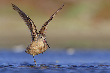 Marbled Godwit (Limosa fedoa) stretching its wings while standing on one leg, North America  -  Tim Fitzharris