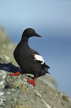 Pigeon Guillemot (Cepphus columba) standing on coastal rock, North America  -  Tim Fitzharris